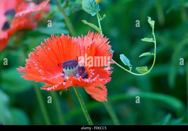 Flowers, Beautiful Red Poppies in garden, Idaho - Stock Image