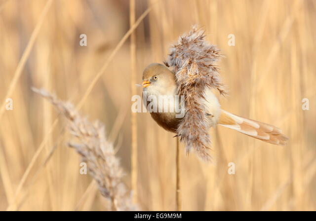 Female Bearded tit. Hyde Park, London - Stock Image