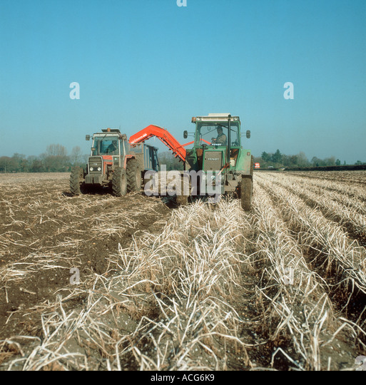 Fendt tractor and Grimme harvester elevating tubers of dessicate potato crop - Stock Image
