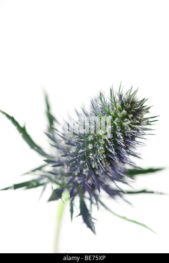 thistle flower close up - Stock Image