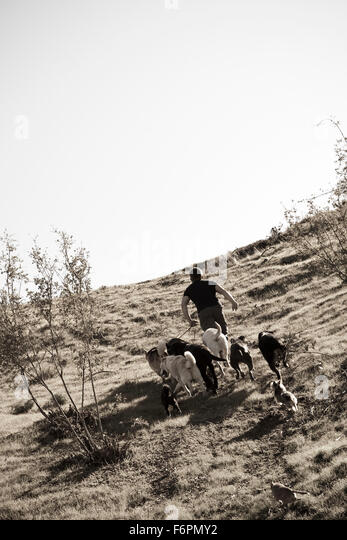 Hiking Ceasr Millan Dog Whisperer famous TV celebrity trainer leading dog pack up grassy hillside - Stock Image