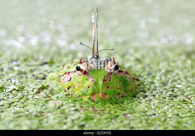 albino ornate pacman frog