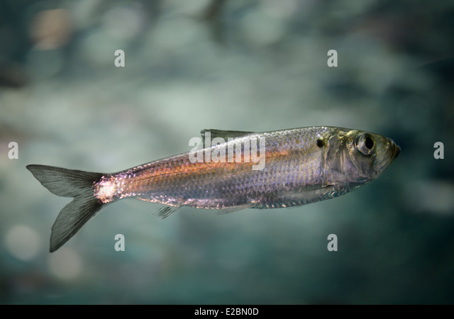Single swimming juvenile Alewife herring fish inRipleys Aquarium Toronto - Stock Image