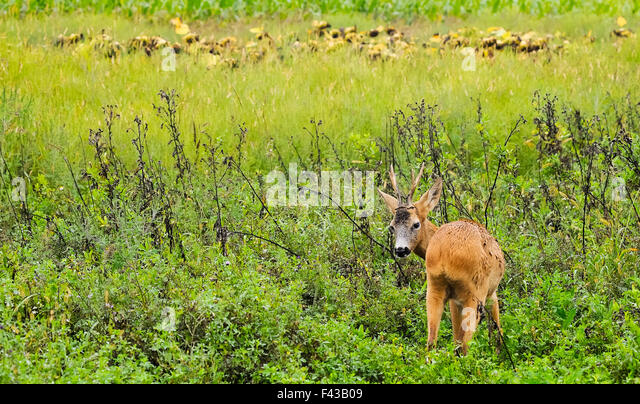 shy deer - Stock Image