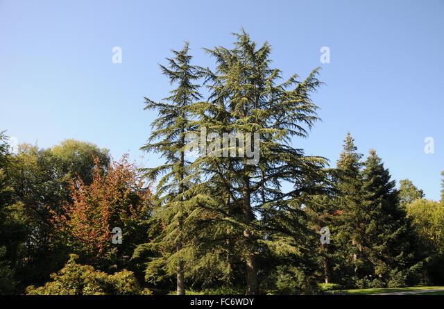 Lebanon cedar - Stock Image