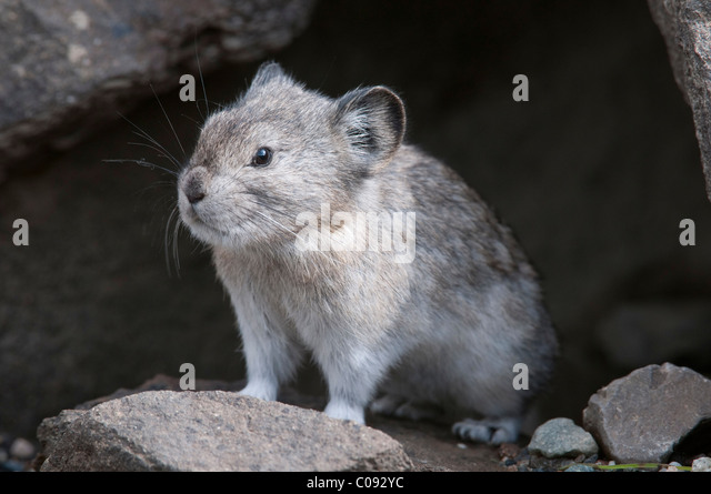 Collared Pika sits at entrance to its den in a rockpile near Igloo Creek in Denali National Park and Preserve, Interior - Stock Image
