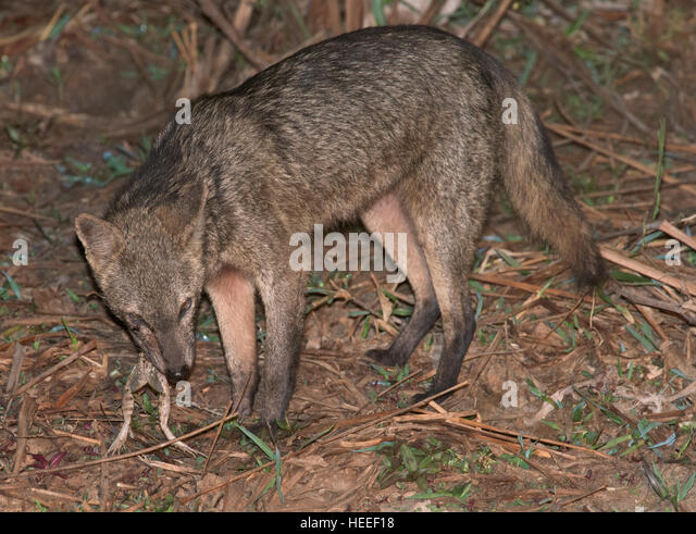 Crab-Eating Fox (Cerdocyon thous) eating a frog - Stock Image