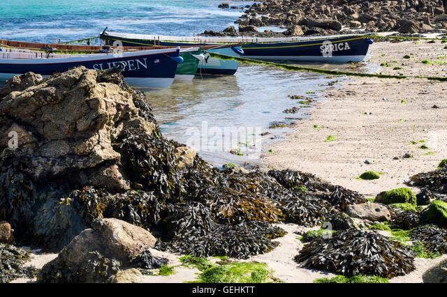 Four gig rowing boats tied up on the beach of St Agnes , Scilly Isles, Cornwall.  Rocks covered in seaweed in foreground. - Stock Image