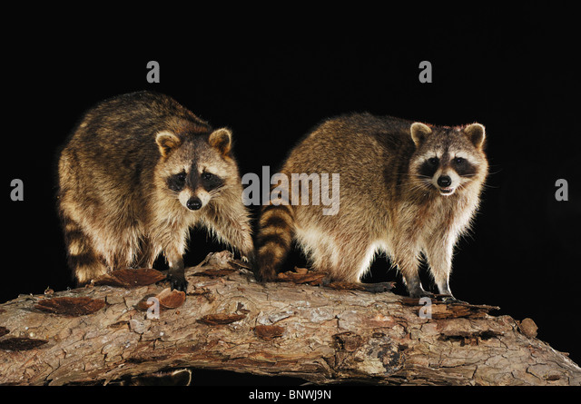 Northern Raccoon (Procyon lotor), adults on log, Fennessey Ranch, Refugio, Coastal Bend, Texas Coast, USA - Stock Image