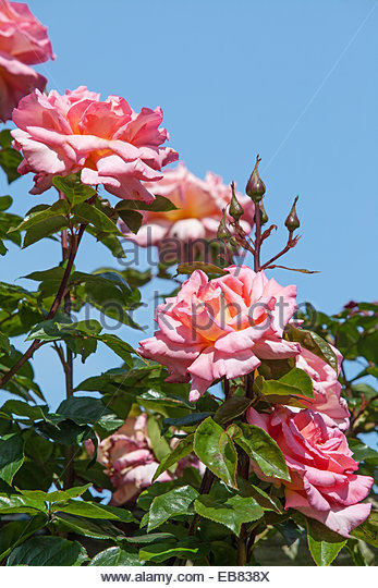 pink climbing rose stock photos pink climbing rose stock images alamy. Black Bedroom Furniture Sets. Home Design Ideas