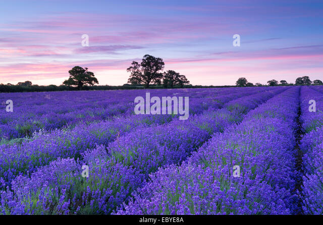Lavender field at dawn, Somerset, England. Summer (July) 2014. - Stock Image