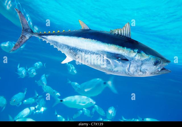 Bluefin tuna Thunnus thynnus saltwater fish in mediterranean - Stock Image