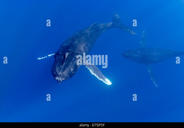 Pair of Humpback Whale, Megaptera novaeangliae, Hawaii, USA - Stock Image