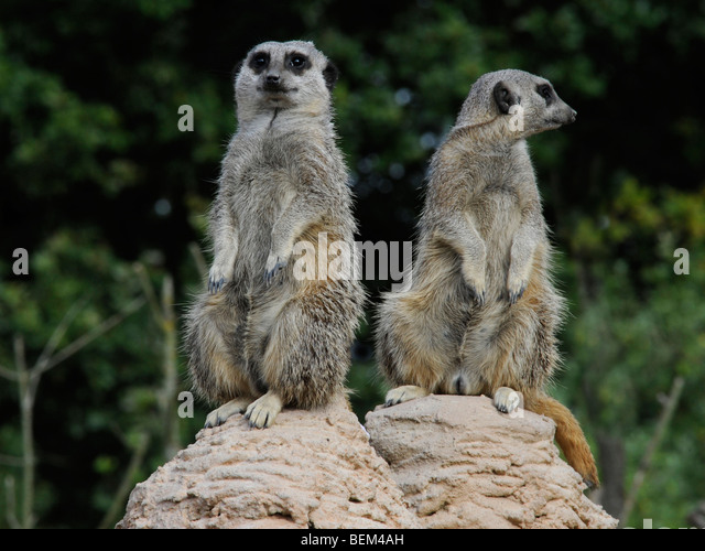 Two meerkats one looking one way one looking the other, different viewpoints. - Stock Image