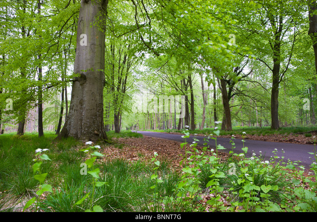 Verdant Spring foliage around the Grand Avenue of Savernake Forest, Marlborough, Wiltshire, England. Spring (May) - Stock Image