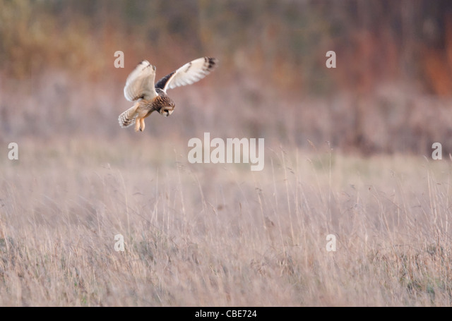Wild Short Eared Owl hovering over prey on rough grasslands in Leicestershire - Stock Image
