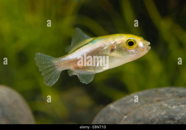 Blowfish stock photos blowfish stock images alamy for Fish in a bottle menu
