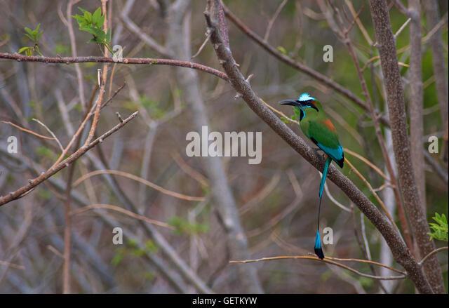 Turquoise-browed motmot, Nicaragua - Stock-Bilder