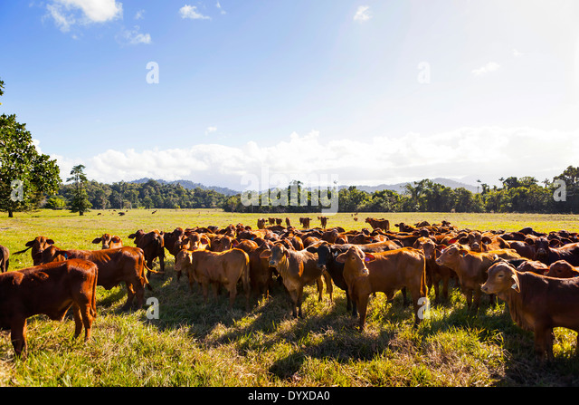 Limousin cattle, Cairns QLD Australia - Stock Image