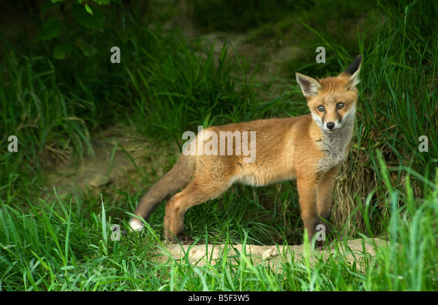 Young red fox Vulpes vulpes outside earth - Stock Image