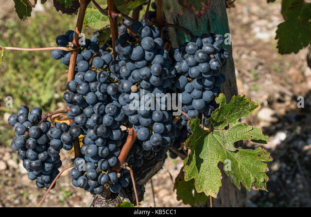 vineyards in Medoc, Bordeaux, Gironde, Aquitaine, France, Europe, vineyards in Medoc, grapevine, Bordeaux, Gironde, - Stock Image