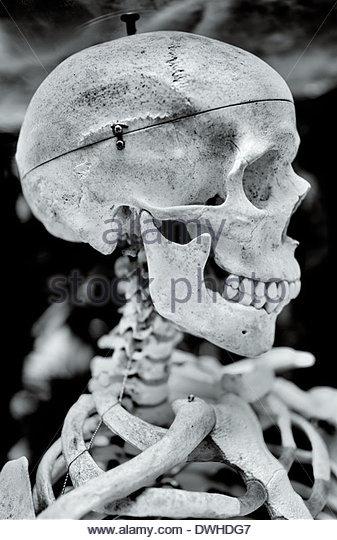 A wired human skeleton on display at Bangkok's Dusit Thai Zoo, Thailand. - Stock Image