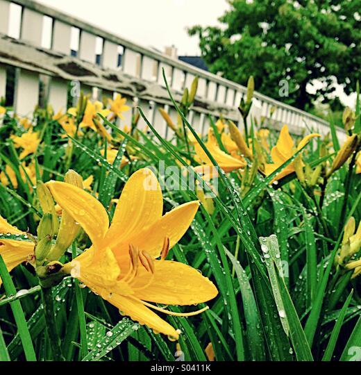 Yellow daylilies. - Stock Image