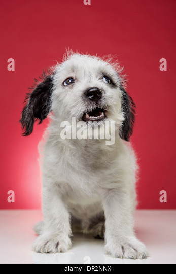 White and black puppy on red backdrop, looking upward and laughing. - Stock Image