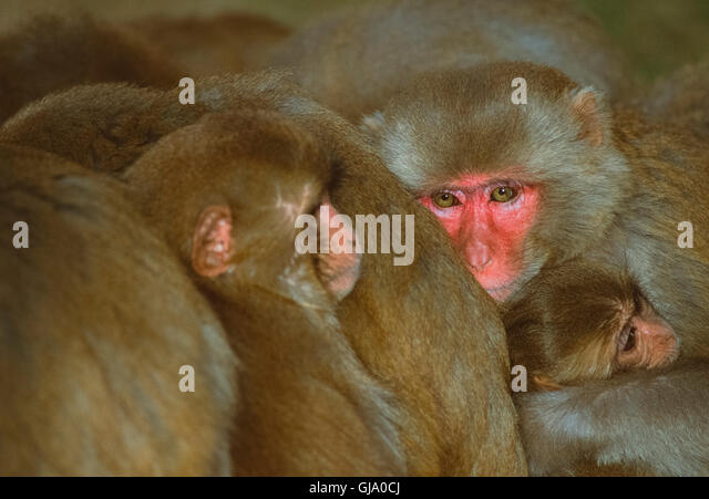 Rhesus macaque, Macaca mulatta, male huddled together with troop to keep warm, Rajasthan, India - Stock Image