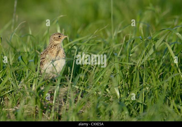 Eurasian Skylark (Alauda arvensis), juvenile, Texel, The Netherlands, Europe - Stock Image