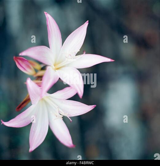 amarylis close-up color image detail flower plants simplicity square Subscription08 - Stock-Bilder