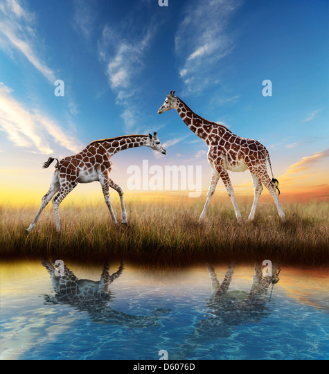 Two Giraffes At Sunset With Water Reflection - Stock Image