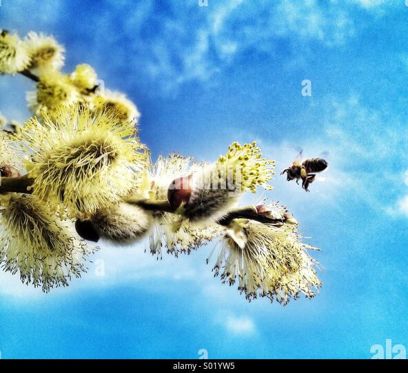 Pollination, bee and branch with catkins - Stock Image