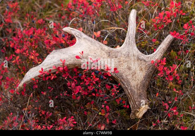 Moose antler, Denali National Park, Alaska. - Stock Image