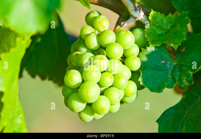 Green grapes close-up shot - Stock Image