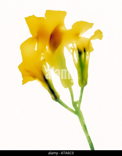 photogram of a flower - Stock Image