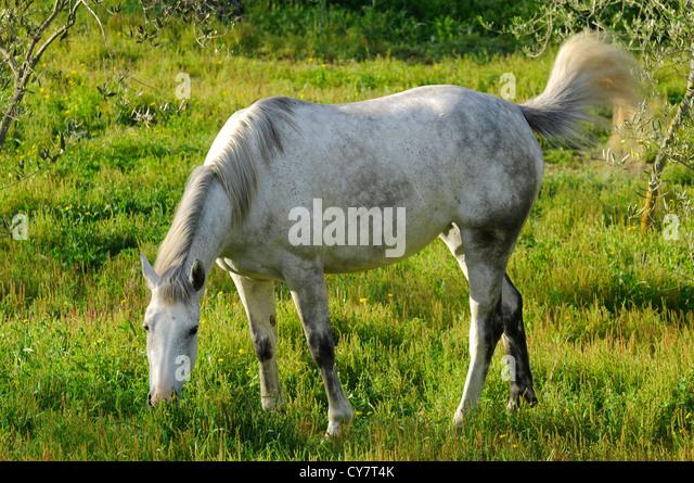 Wild white horse - Stock-Bilder