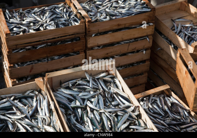 Freshly caught fish in crates - Stock Image