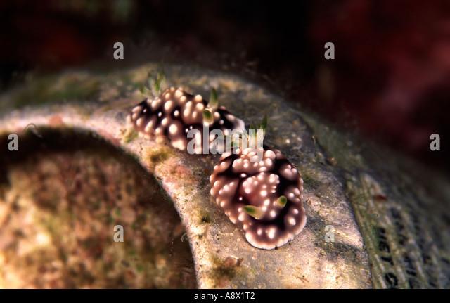 Pair of Chromodoris geometrica - Stock Image
