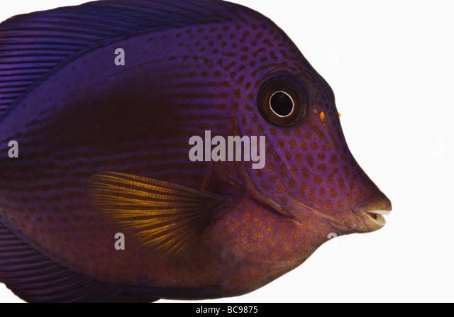 Purple tang fish Zebrasoma xanthurum Marine reef fish also known as Yellowtail Sailfin Tang Dist Red Sea Arabian - Stock Image