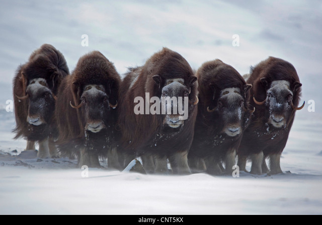 muskox (Ovibos moschatus), herd at stormy weather , Norway, Dovrefjell Sunndalsfjella National Park - Stock Image