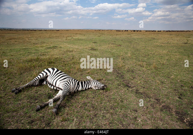 Common or Plains zebra (Equus quagga burchellii) lying dead on the savanna grassland, Masai Mara National Reserve, - Stock Image