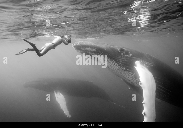 Humpback Whale and Photographer, Megaptera novaeangliae, Silver Bank, Atlantic Ocean, Dominican Republic - Stock-Bilder