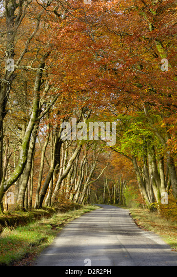 Avenue of beech trees, near Laurieston, Dumfries and Galloway, Scotland, United Kingdom, Europe - Stock Image