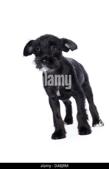 Cute black puppy - Stock Image