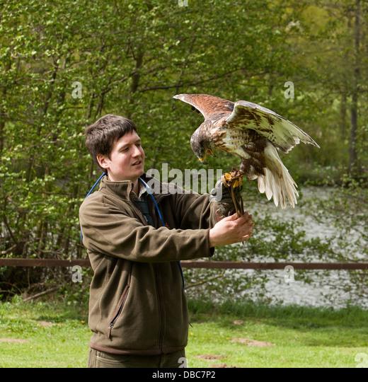 Falconer handling a Hawk - Stock Image