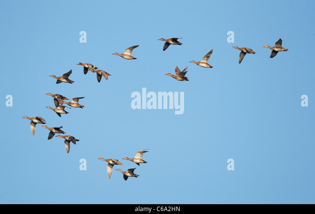 Gadwall (Anas strepera). Flock in flight with one Wigeon (Anas penelope). - Stock Image