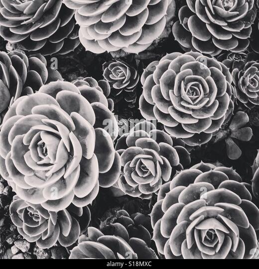 Black and white succulents - Stock-Bilder