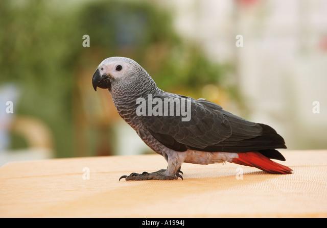 Congo African Grey parrot - standing / Psittacus erithacus - Stock-Bilder