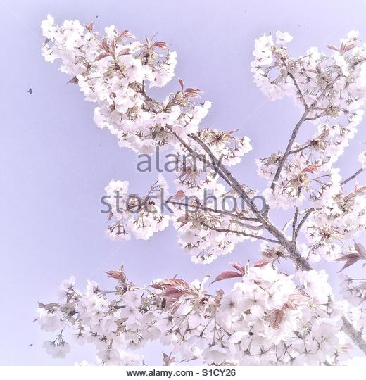 Tree with white blossoms - Stock Image